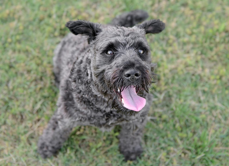 Male Schnauzer Dog stock photo