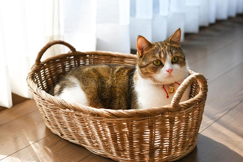 Male Scotch fold White stripes three colors Lying in the basket stock image