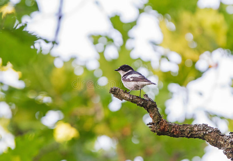 A male Semi-collared Flycatcher on a Oak royalty free stock image