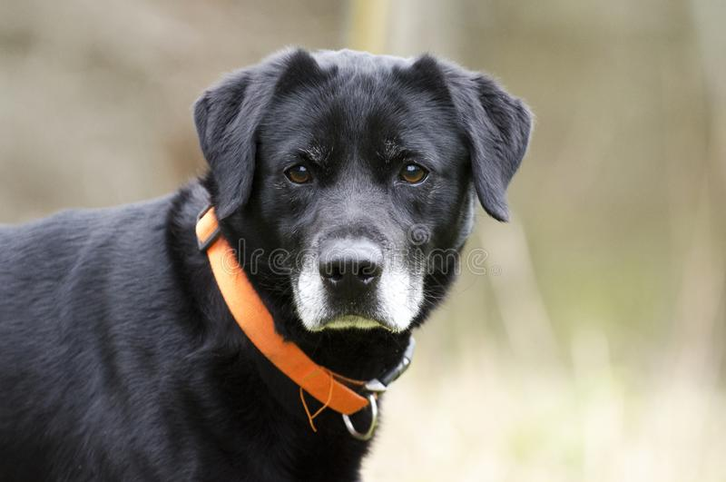 Older Black Labrador Retreiver dog with gray muzzle and hunter orange collar. Male senior Black lab with gray muzzle named Gavin. Outdoors on leash with orange royalty free stock images