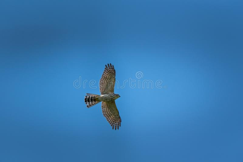 Male Shikra flying to hunt. Male Shikra flying to find prey in isolated background stock photography