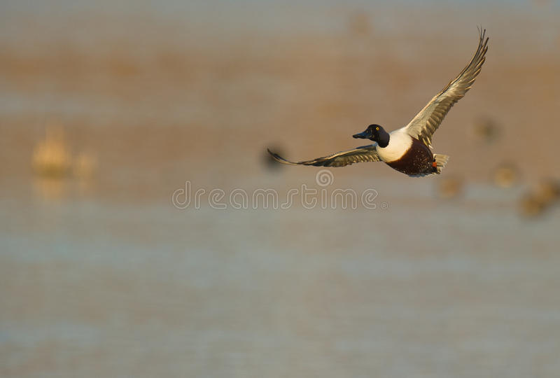 A male Shoveler in flight. A male Northern Shoveler takes of from a lagoon at the Aiguamolls del Emporda in northeaster Spain royalty free stock photo