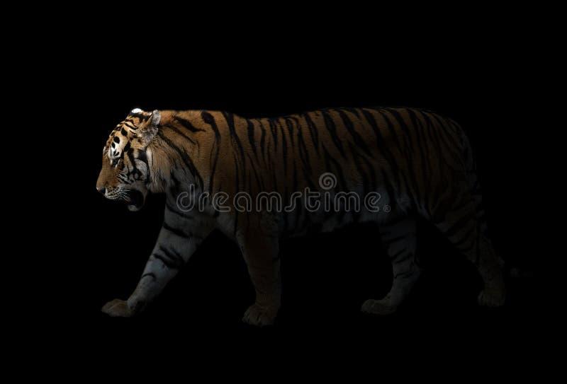 Male siberian tiger in the dark. Male siberian tiger standing in the dark royalty free stock image