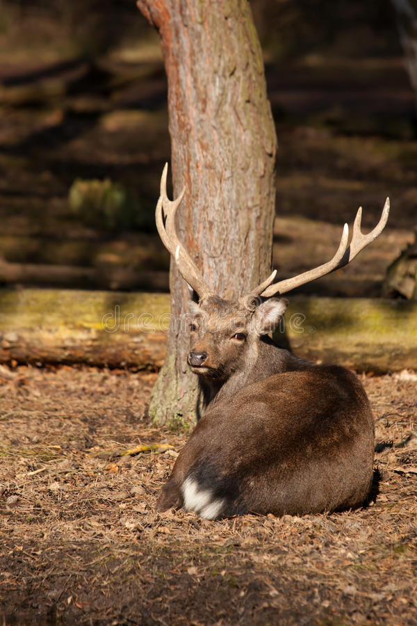 Male sika deer resting royalty free stock image