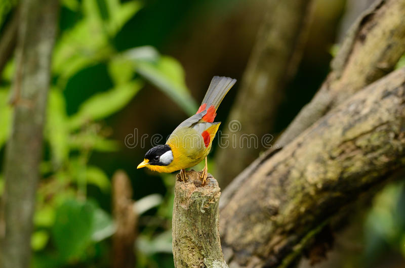 Male Silver-eared Mesia Stock Photo