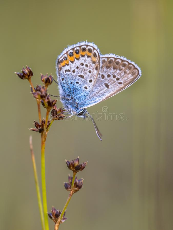male silver studded blue butterfly preparing for night royalty free stock photos