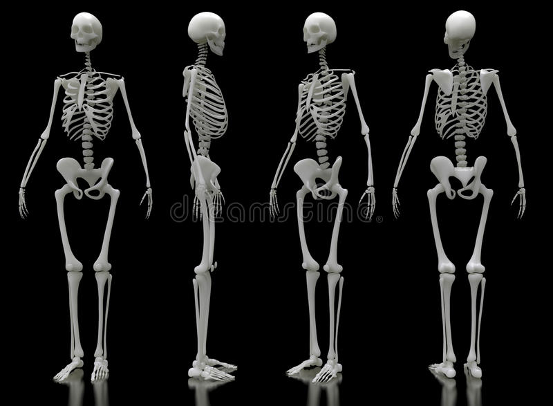 Male skeleton four views royalty free illustration