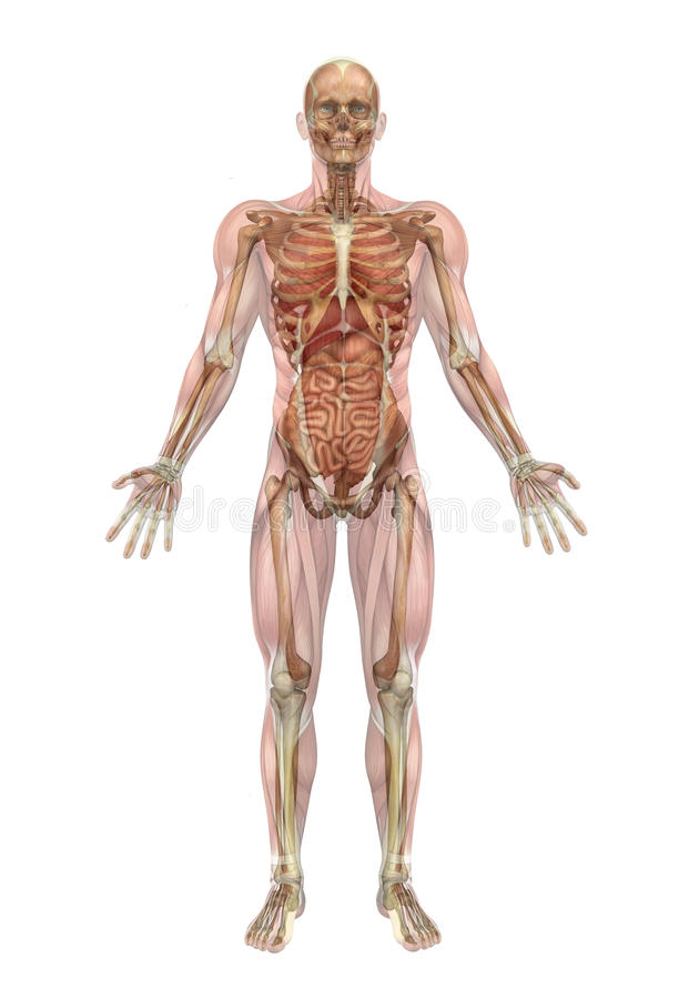 Male Skeleton And Internal Organs With Muscles Royalty Free Stock Photography