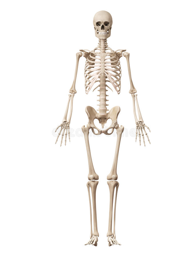 The male skeleton vector illustration