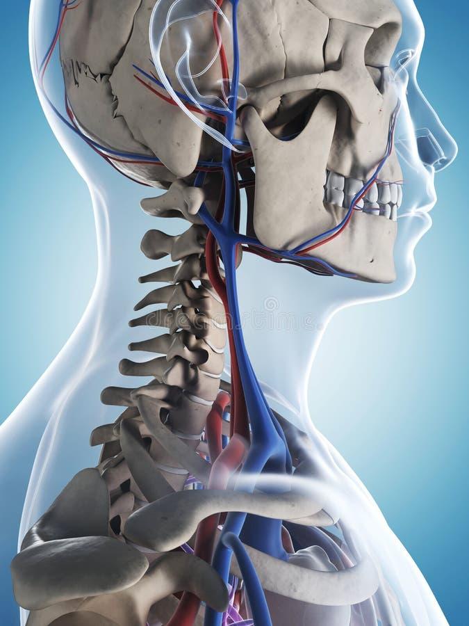 Male skeleton and vascular system royalty free illustration