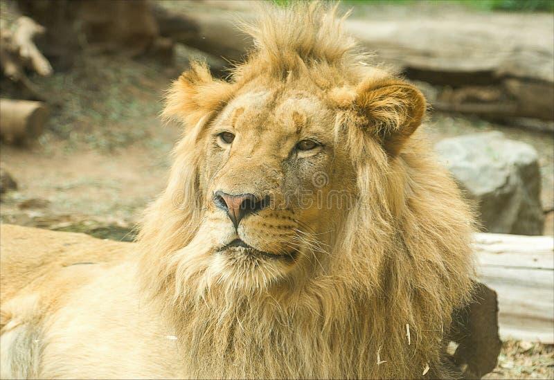 Male Sleepy lion in safari park. Lion close-up shot in San Diego Zoo Safari park royalty free stock photo