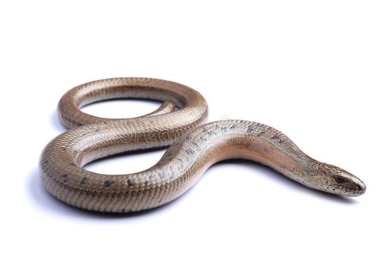 Male of Slowworm (Anguis fragilis) on white royalty free stock image
