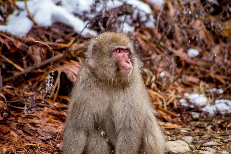 Wild male Japanese Macaque, or snow monkey. A male snow monkey sits unhappily after being rebuffed and yelled at by an unreceptive female. These monkeys are the royalty free stock images
