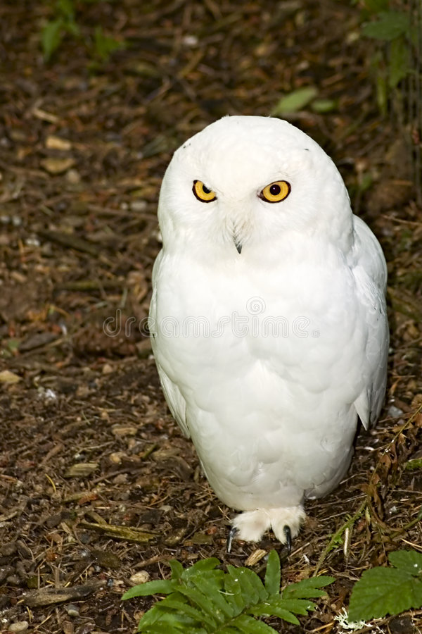 Male Snowy Owl. Beautiful male snow owl standing on one foot royalty free stock photos