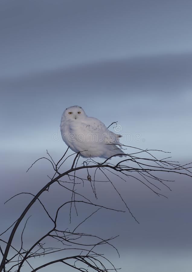 A Male Snowy owl Bubo scandiacus isolated against a blue background perched on top of a tree at sunset in winter in Ottawa, Cana stock image