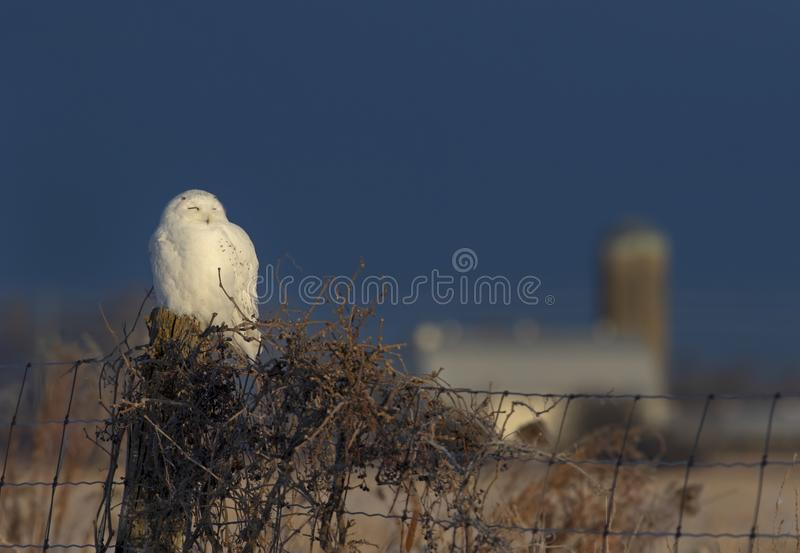 A Male Snowy owl Bubo scandiacus perched on a wooden post with a barn in the distance in winter in Ottawa, Canada royalty free stock images