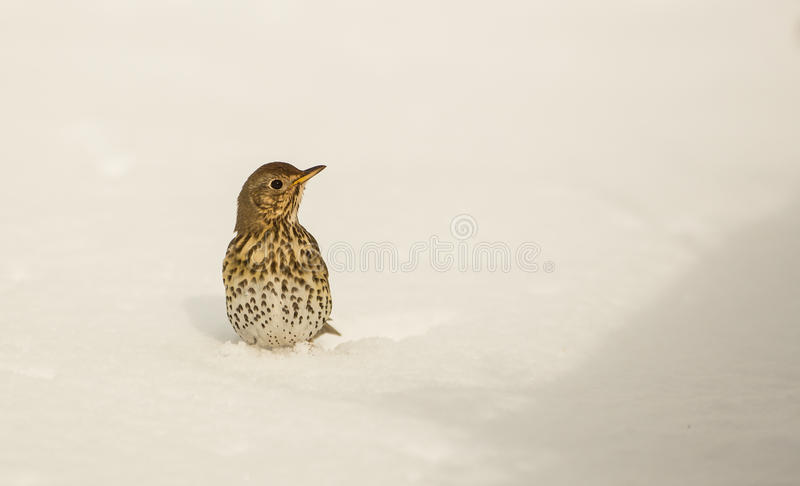 Download Song Thrush Stuck In The Snow Stock Photo - Image: 30125822