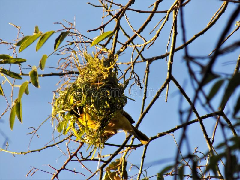 Male crested weaver bird inside his nest royalty free stock photography