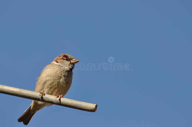 MALE SPARROW stock image