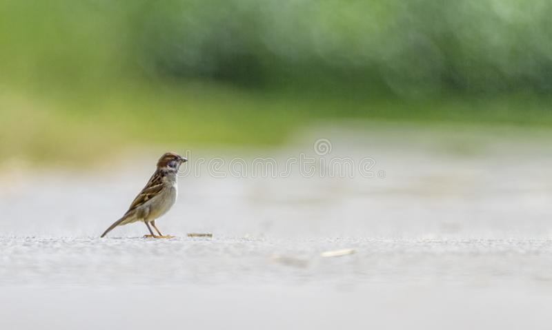 Male sparrow on the ground. Male sparrow standing alone on the ground stock photos