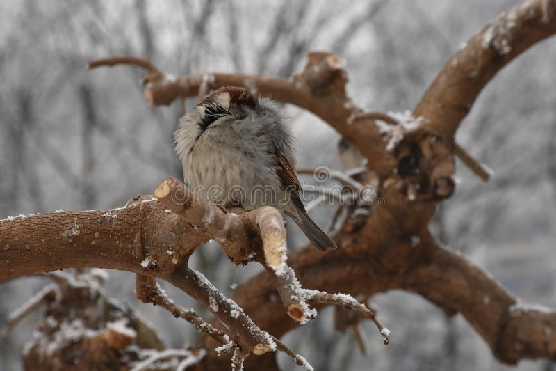Male Sparrow stock photo