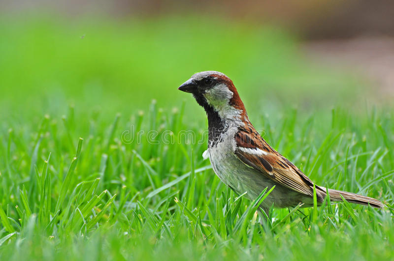 Male sparrow royalty free stock image