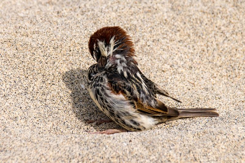 Wild sparrow bird on a sand beach royalty free stock images