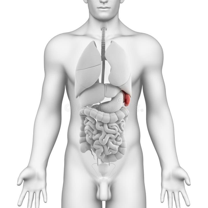 Male Spleen And Abdominal Organs Stock Illustration - Illustration ...