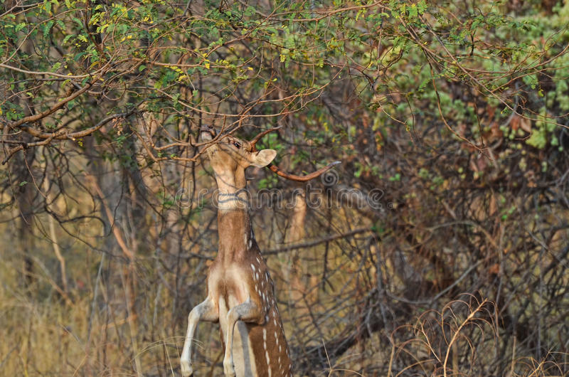 A male Spotted Chital Deer jumping to eat food stock photography