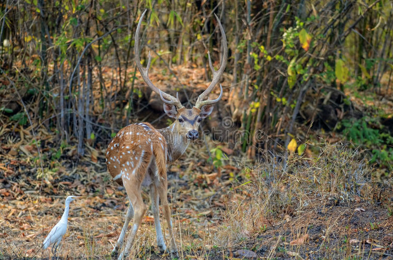 A male Spotted Chital Deer looking at camera royalty free stock photography
