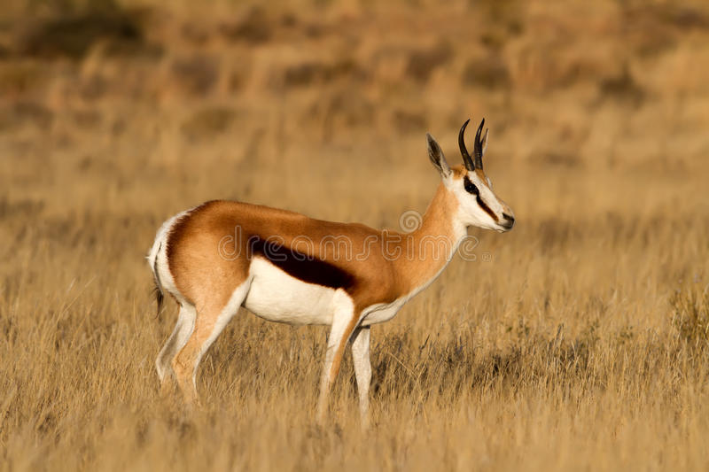 Male Springbok. Standing on the African Grass Plains royalty free stock images