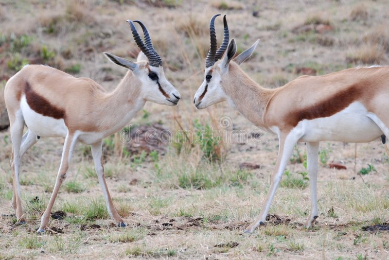 Male Springboks Fighting Stock Photos
