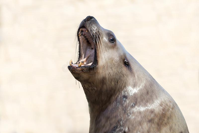 Male steller sea lion on a clear background royalty free stock photography