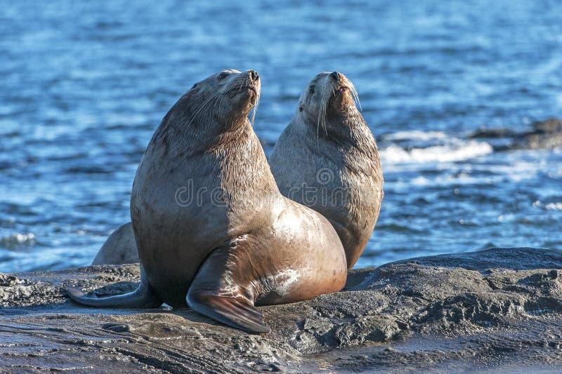 Male Steller Sea Lion Eumetopias jubatus stock photos