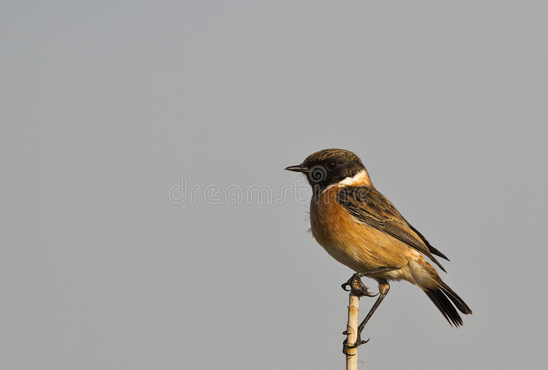 Download Male Stonechat stock photo. Image of wildlife, reed, wild - 27715686