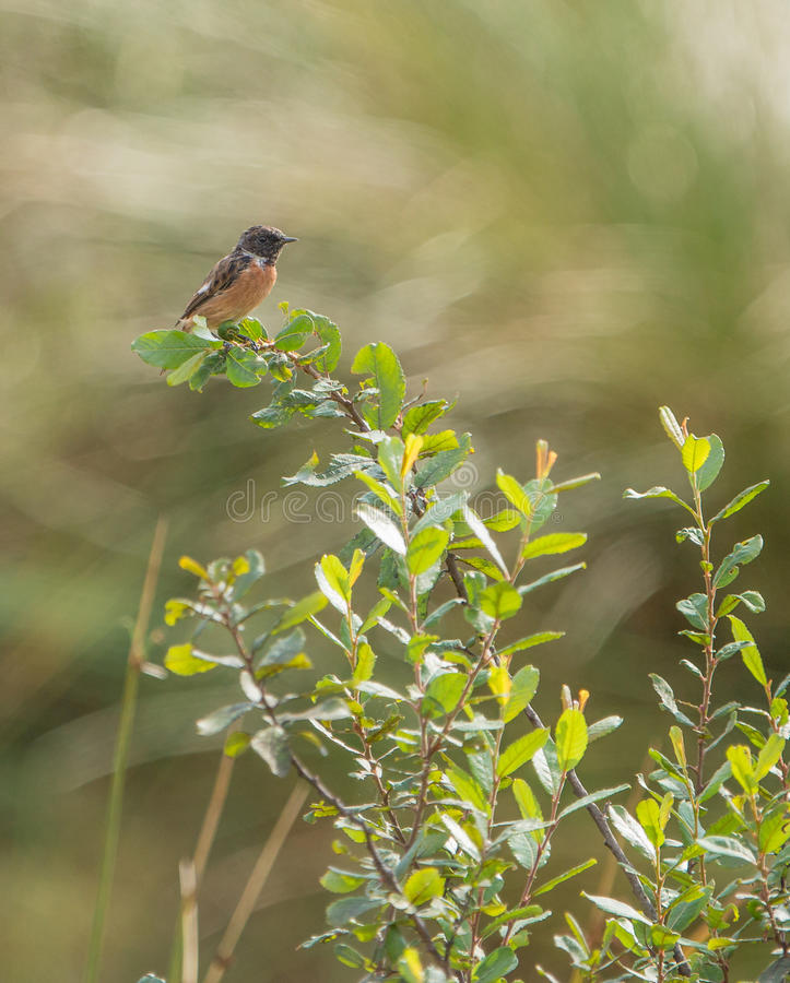 Download Male Stonechat on bush stock image. Image of colors, controls - 33536259
