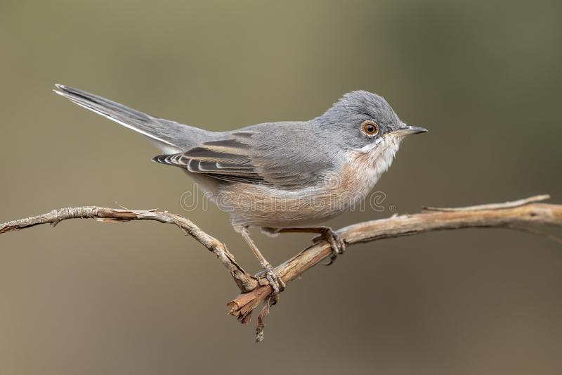 Male of subalpine warbler. Sylvia Cantillans, on her hanger stock image