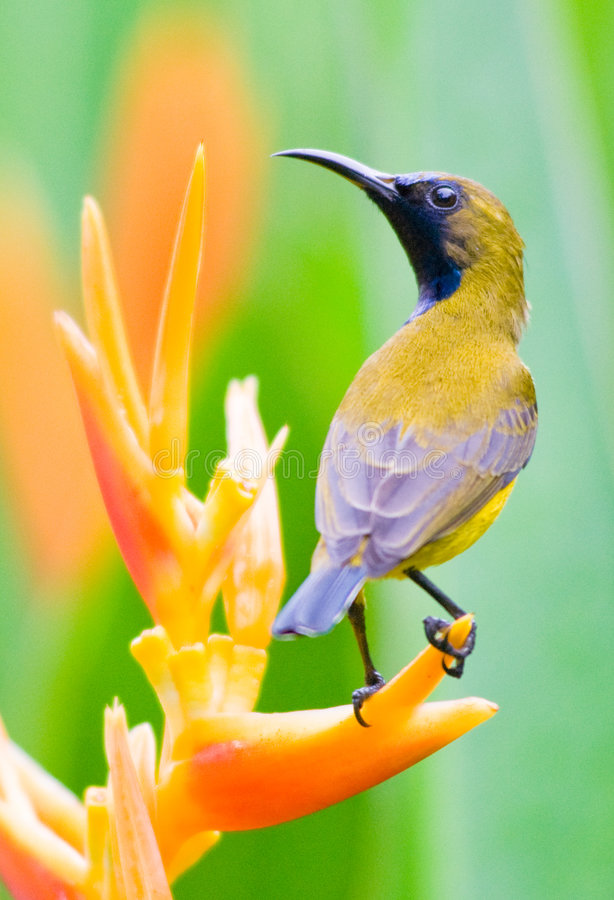 Free Male Sunbird Perched On Heliconia Flower Stock Images - 7596804