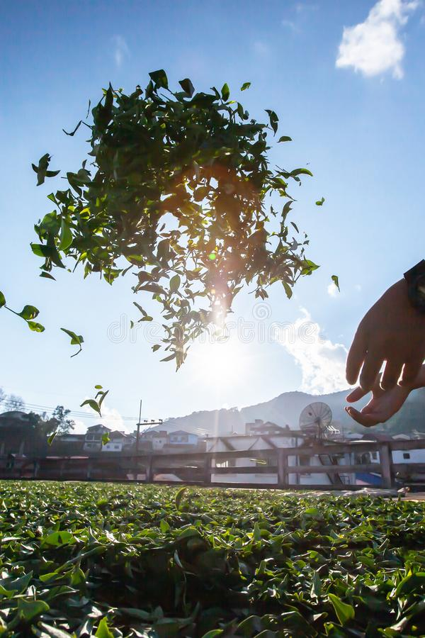 A male tea farmer withering the leaves in sunlight and left to wilt. Doi Mae Salong, Thailand stock photo