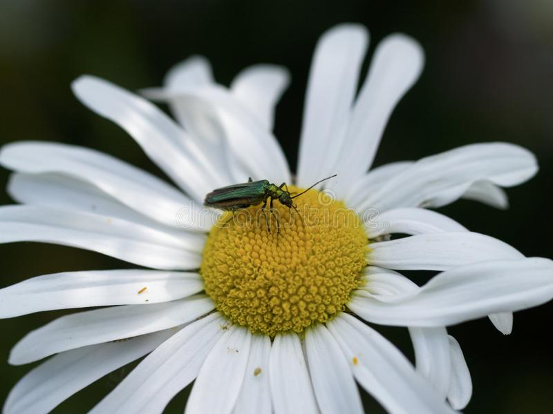 A male thick legged Beetle Oedemera nobilis stock photography