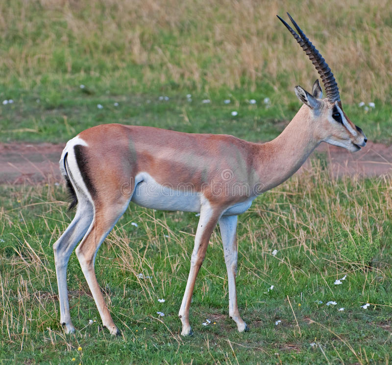 Male Thomson's Gazelle. A male Thomson Gazelle on the Masai Mara royalty free stock photo