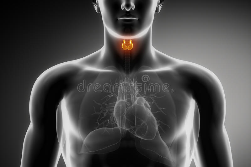 Male thyroid anatomy royalty free illustration