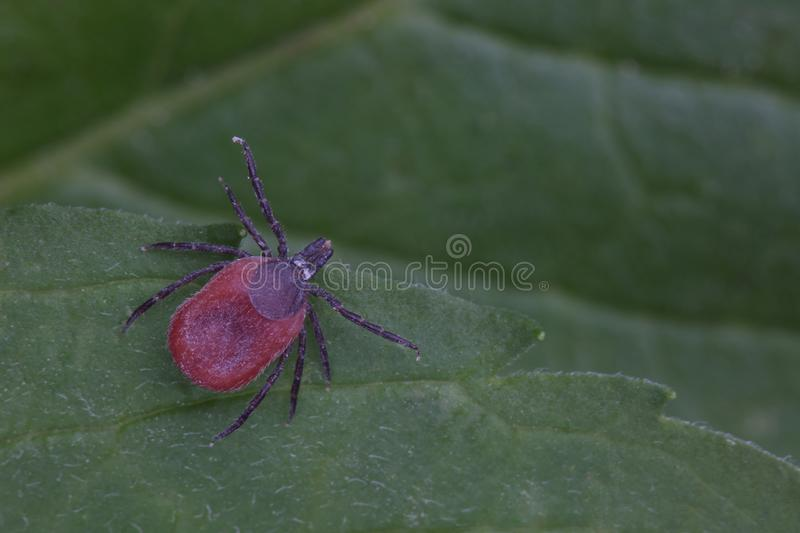 Male of tick sits on leaf. Closeup stock photos