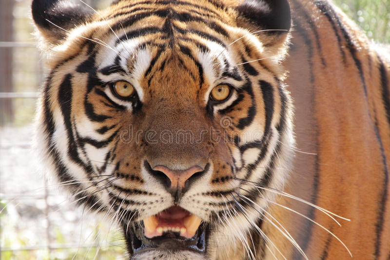 Male Tiger royalty free stock photo
