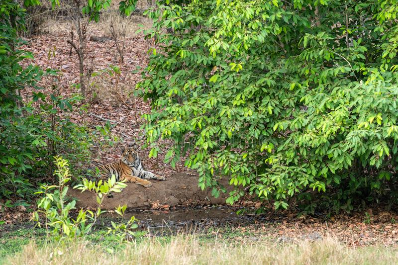 Male tiger cub resting under shade of tree leaves in a cool place near water body in hot summer safari at bandhavgarh. A male tiger cub resting under shade of stock images