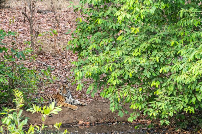 Male tiger cub resting under shade of tree leaves in a cool place near water body in hot summer safari at bandhavgarh. A male tiger cub resting under shade of stock image