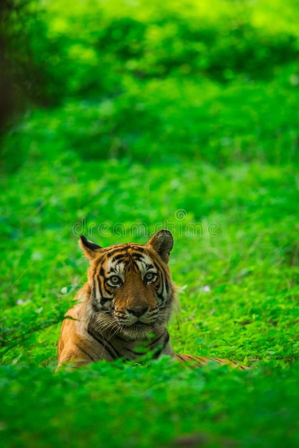 A male tiger cub sighted in monsoon when forest is like green carpet at Ranthambore Tiger Reserve. A male tiger resting in monsoon greens and the park is stock image