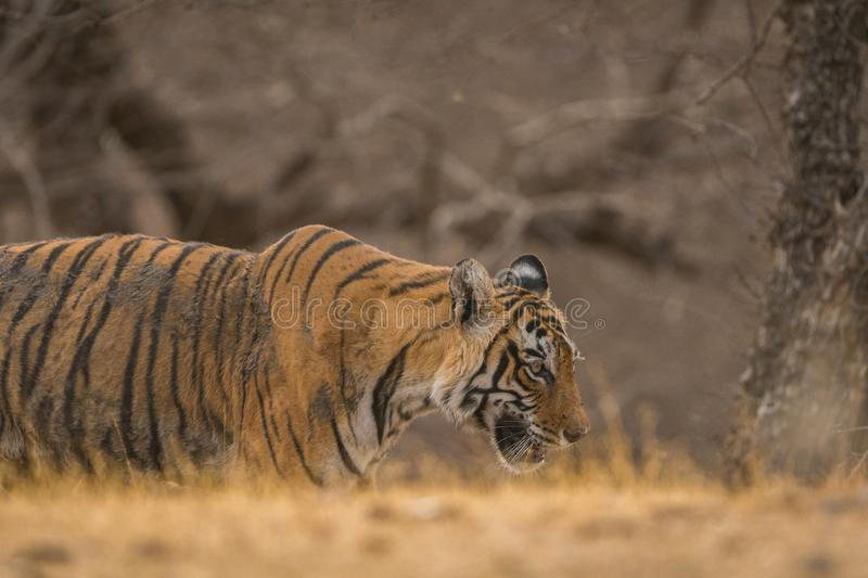 A male tiger cub on a stroll in evening light at Ranthambore National Park. India stock photos