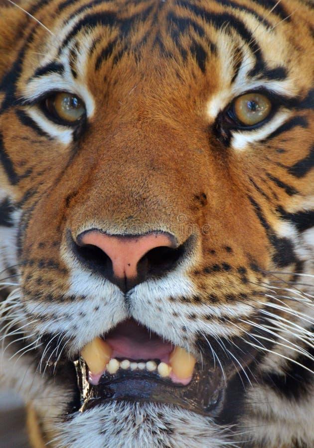 male tiger för ståendeprofilstirrande dig arkivbilder