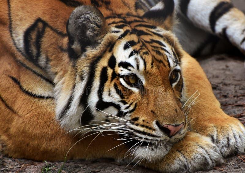 male tiger för ståendeprofilstirrande dig arkivbild